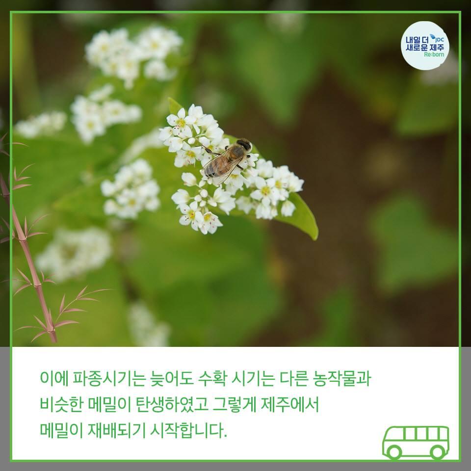 이에 파종시기는 늦어도 수확 시기는 다른 농작물과 비슷한 메밀이 탄생하였고 그렇게 제주에서 메밀이 재배되기 시작합니다.