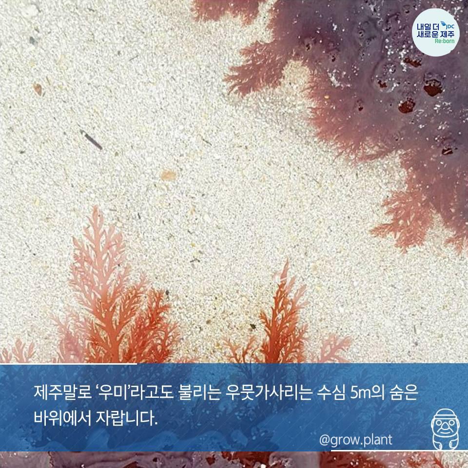 제주말로 '우미'라고도 불리우는 우뭇가사리는 수심5m의 숨은 바위에서 자랍니다.