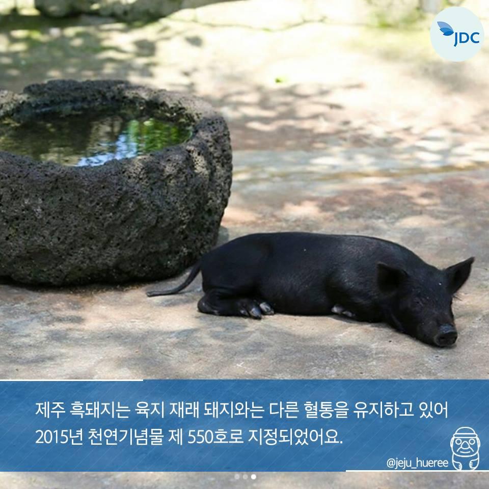 제주 흑돼지는 육지 재래 돼지와는 다른 혈통을 유지하고 있어 2015년 천연기념물 제 550호로 지정되었어요.