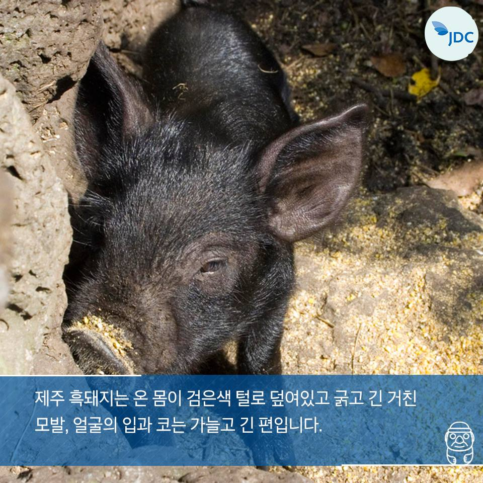 제주 흑돼지는 온 몸이 검은색 털로 덮여있고 굵고 긴 거친 모발, 얼굴의 입과 코는 가늘고 긴 편입니다.