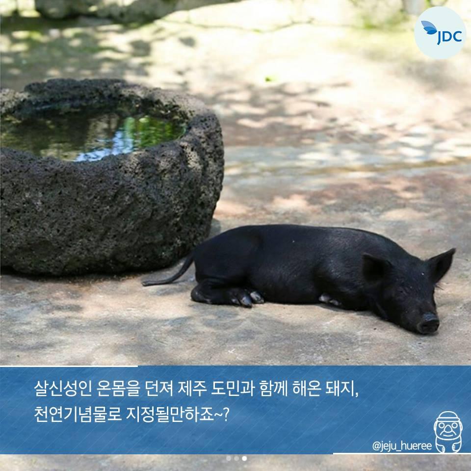 살신성인 온몸을 던져 제주 도민과 함께해온 돼지, 천연기념물로 지정될만하죠~?