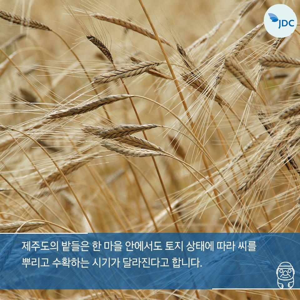 제주도의 밭들은 한 마을 안에서도 토지 샅애에 따라 씨를 뿌리고 수확하는 시기가 달라진다고 합니다.