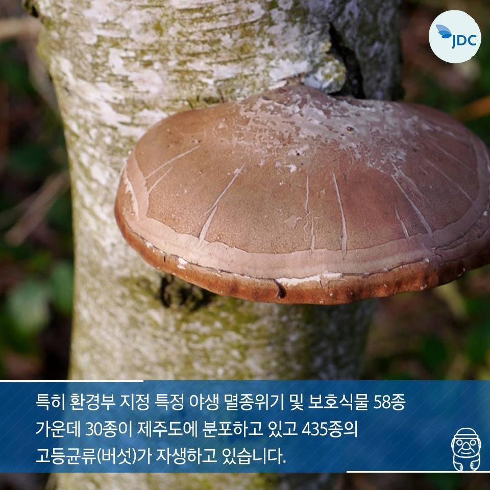 특히 환경부 지정 특정 야생 멸종위기 및 보호식물 58종 가운데 30종이 제주도에 분포하고 이쏙 435종의 고등균류(버섯)가 자생하고 있습니다.